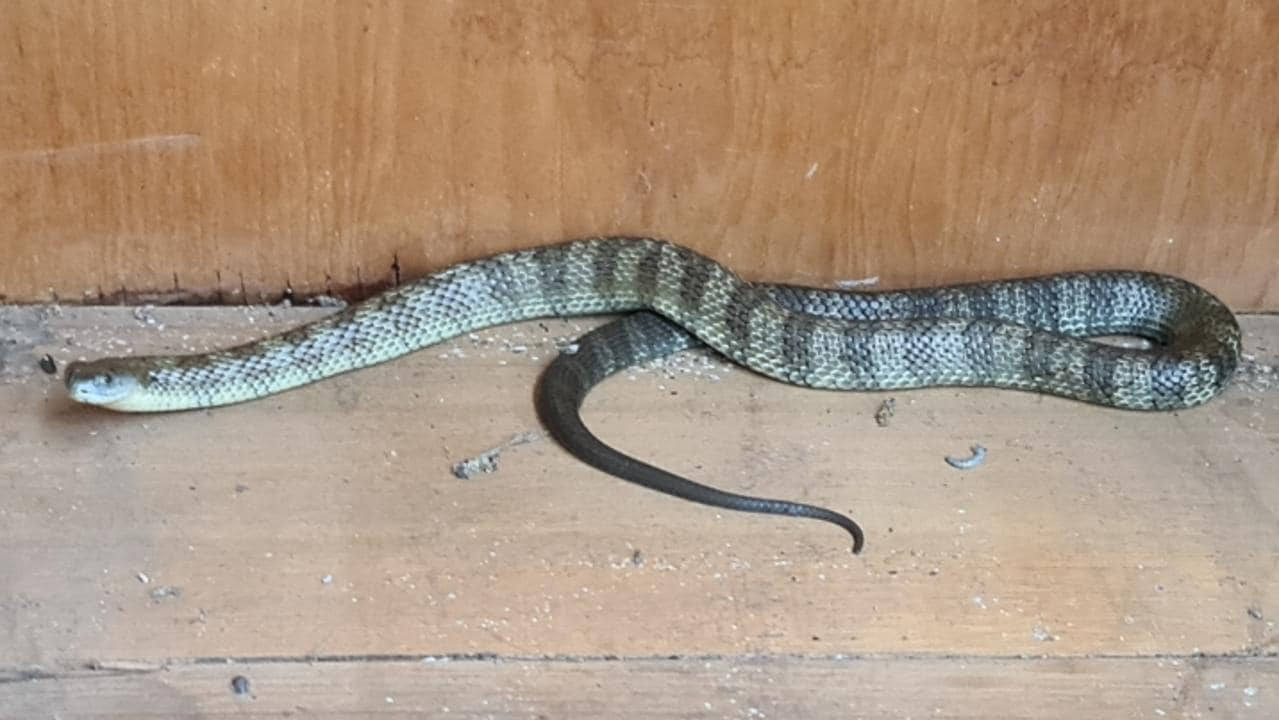 Eastern tiger snake found in Parks Victoria office
