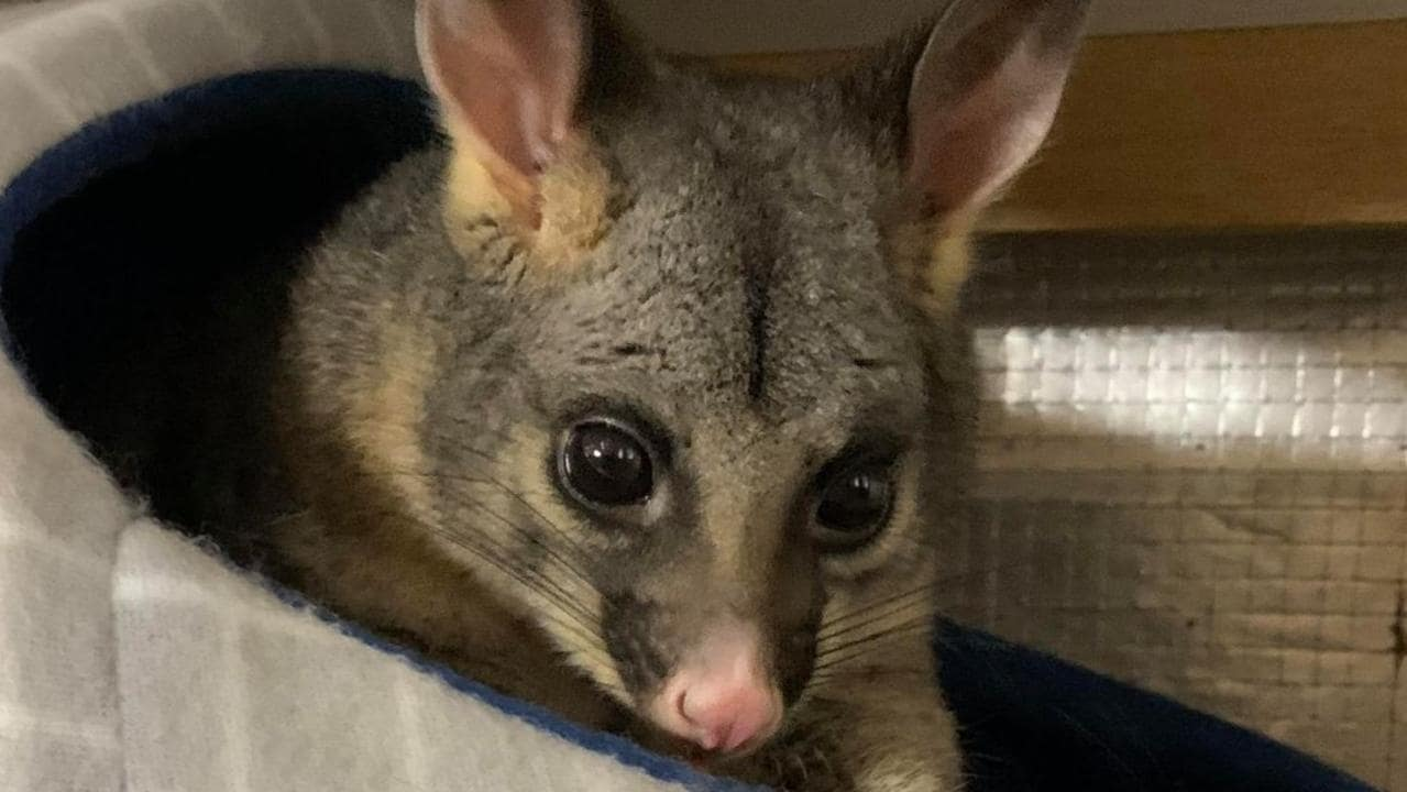 Family attracts possums into their Melbourne home