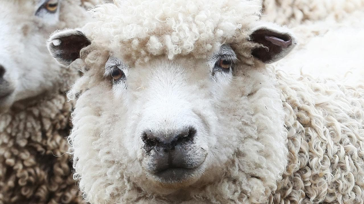 Kenebri man flown to hospital after sheep attack