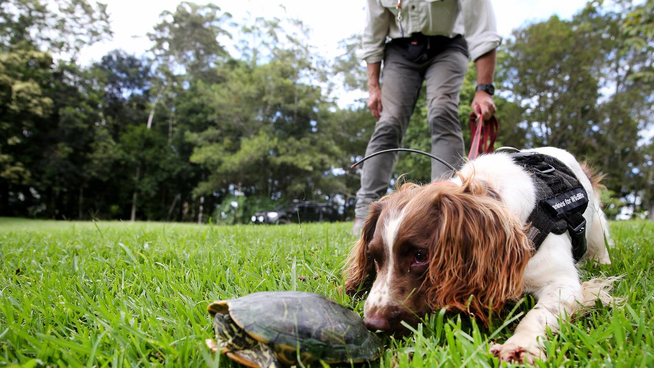 Detector dogs trained to eradicate invasive red-eared slider turtles in New South Wales